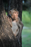 The monkey is waiting for somethings. On the tree Royalty Free Stock Images