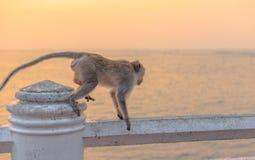 Monkey walk on fence with sunset. stock images