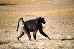 Monkey walking Royalty Free Stock Image