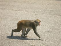 Monkey Walking Around on Pavement. A monkey (a macaque) is walking around on paved asphalt in the city Stock Photos