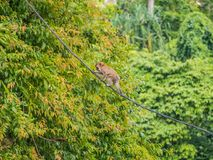Monkey Walking on a Cable at Batu Caves. Malaysia royalty free stock photos