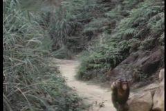 Monkey walking down path stock video