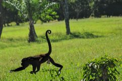Monkey walking on a fence in Costa Rica on a farm royalty free stock photo
