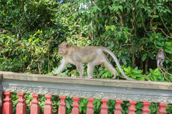 Monkey walking on a fence Royalty Free Stock Photography