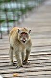 Monkey walking. The Monkey of Kaeng Krachan some interesting info Royalty Free Stock Photography