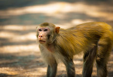 Monkey walking Stock Images