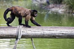 Monkey walking over a tree trunk Royalty Free Stock Photography