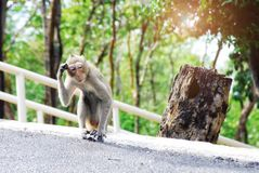 A monkey walking on the road It was puzzling and suspicious as it was lost. Make it look funny royalty free stock images