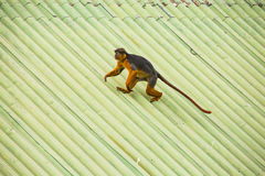 Monkey walking on a roof Royalty Free Stock Image