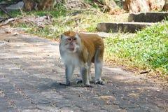 Monkey walking Royalty Free Stock Images