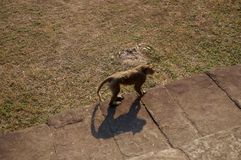 Monkeys wandering around the temples in Angkor Wat Stock Photos