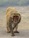 Monkey walking on Stone Wall. At Surajkund, Faridabad Stock Photo