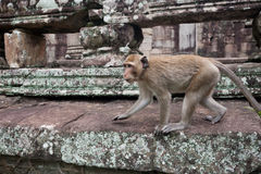 Monkey walks on the stone Royalty Free Stock Photography