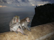Monkey on wall Stock Photography
