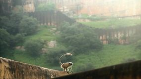 Monkey on a wall stock footage