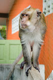 Monkey. On the wall in thailand Stock Images