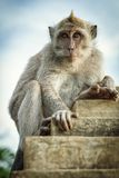 Monkey on the wall. Of Uluwatu temple royalty free stock photo