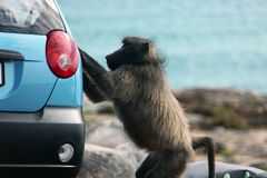 Baboon tries to steal from the car Stock Photo