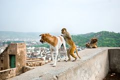 The monkey wants to ride on a dog, Galta Temple in Jaipur, India. Royalty Free Stock Photography