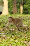 Monkey was walking Royalty Free Stock Images