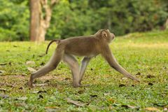 Monkey was walking Royalty Free Stock Photo