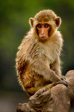 Monkey watching Royalty Free Stock Photography