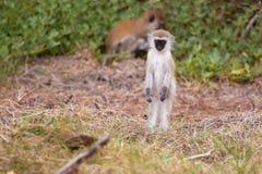 Monkey watching, on safari in Kenya. Monkey standing and watching, on safari in Kenya, with a black face stock image
