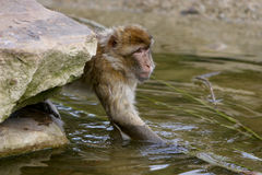 Monkey water royalty free stock images
