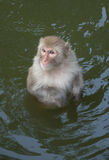 Monkey  in the water Stock Image