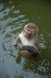 Monkey  in the water Royalty Free Stock Photos