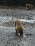 Monkey water drinking stock photography