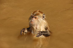 Monkey in the water. In langkawi Royalty Free Stock Image