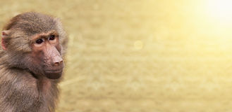 Monkey website banner. Animal zoo website banner of a baboon monkey with copy space stock photography