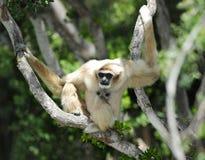 Monkey, weißer übergebener oder Lar-Gibbon, Thailand Lizenzfreie Stockfotos