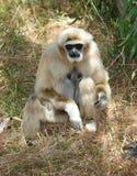Monkey, weißer übergebener oder Lar-Gibbon, Thailand Lizenzfreie Stockbilder