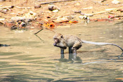 Monkey were playing pool in the tropical forests Royalty Free Stock Image