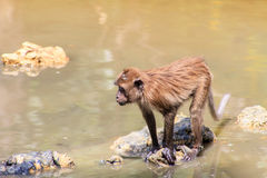 Monkey were playing pool in the tropical forests Royalty Free Stock Photography