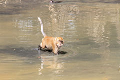 Monkey were playing pool in the tropical forests Stock Photography