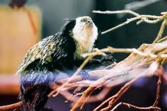 Monkey white-faced capuchin Stock Photography