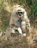 Monkey, white handed or Lar Gibbon , thailand Royalty Free Stock Images