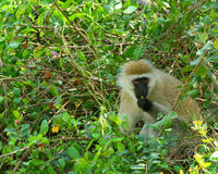 Monkey in the wild Royalty Free Stock Image