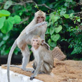 Monkey wild animal Royalty Free Stock Photos