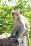 Monkey. Wild monkeys are some interesting things Royalty Free Stock Images