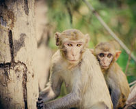Monkey wild Royalty Free Stock Image