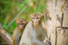 Monkey wild Royalty Free Stock Images