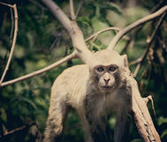 Monkey wild Royalty Free Stock Photography