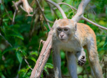 Monkey wild Royalty Free Stock Photo
