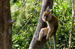 Monkey in wildlife Royalty Free Stock Images