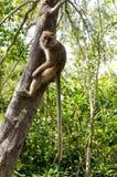 Monkey in wildlife Royalty Free Stock Photography