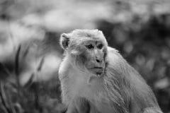 Monkey Wildlife Royalty Free Stock Images